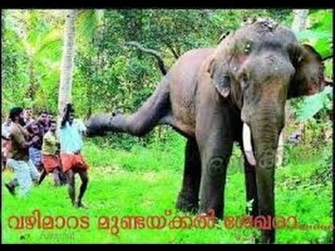 Elephant Attack In Eranakulam shiva temple Narrow escape ...