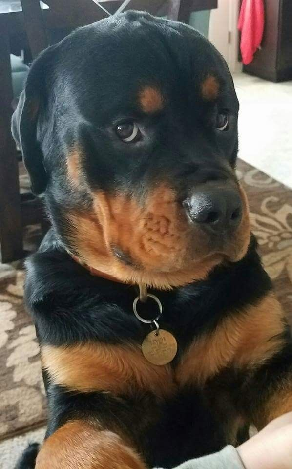 Rottie I Didn T Just Destroy Your Bathroom Or Pee In Your Shoe