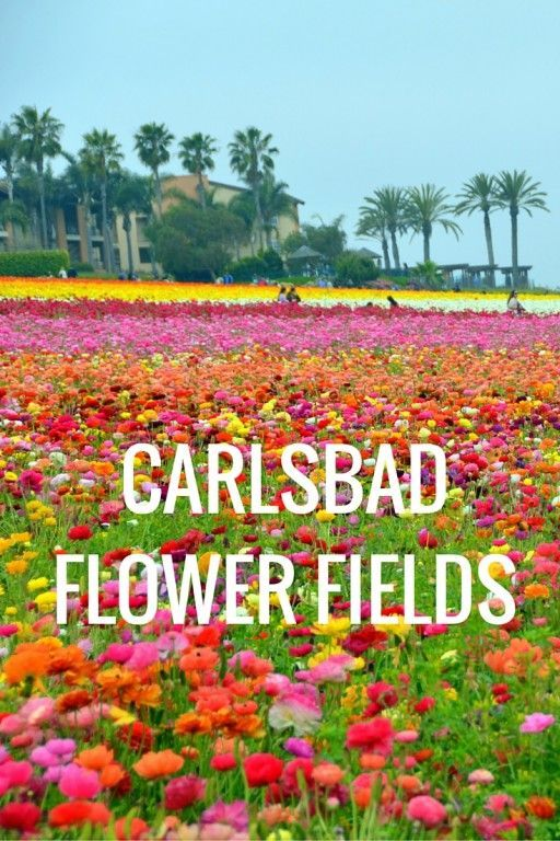 The Carlsbad Flower Fields in Southern California is transformed into a rainbow of ranunculus flowers every Spring. See the beauty  of the gardens.
