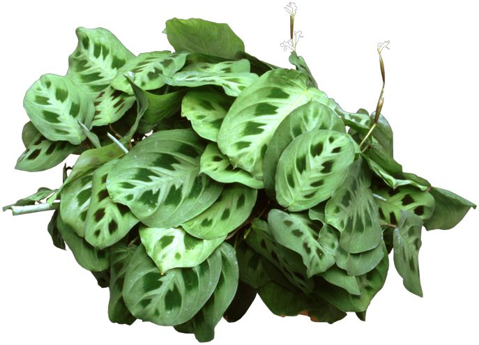 unusual houseplants the large patterned leaves o a prayer plant with hues of red green