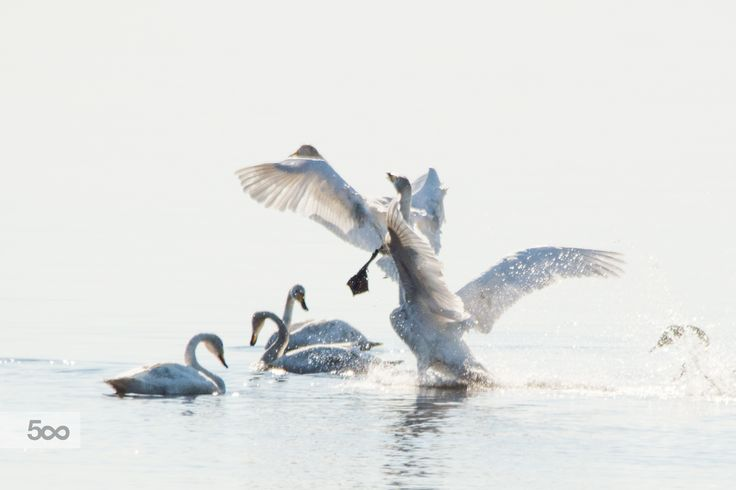 Swans by Markku Talvipuro on 500px