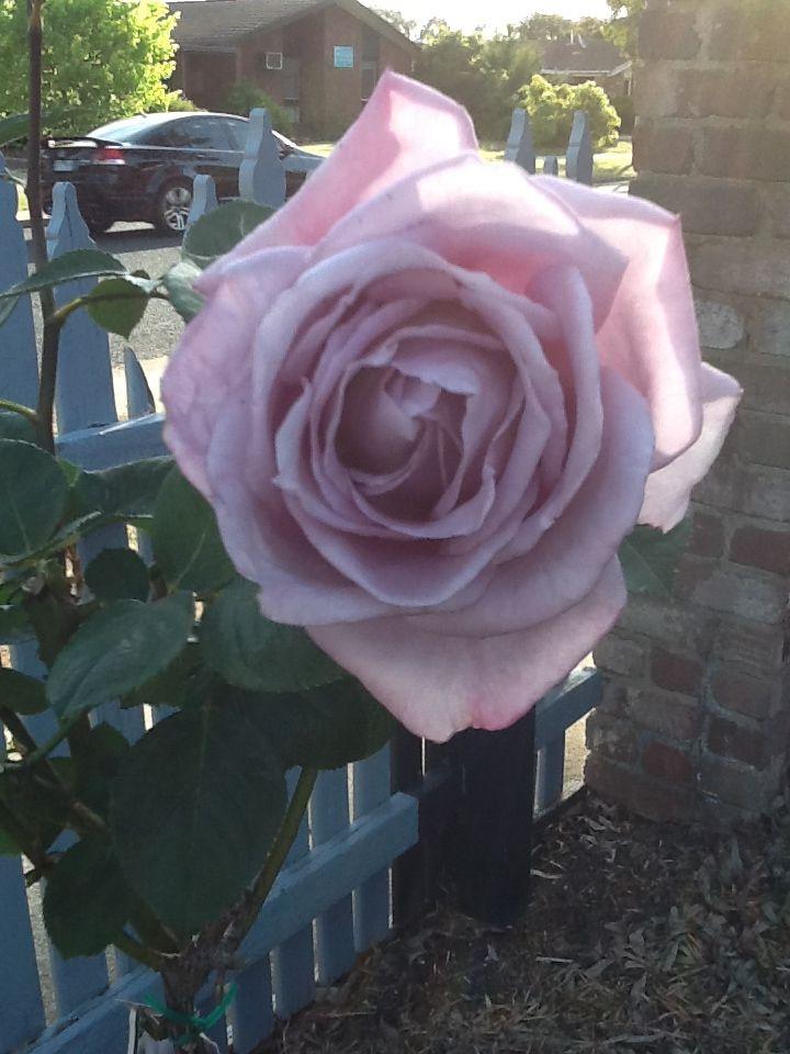 My blue moon rose