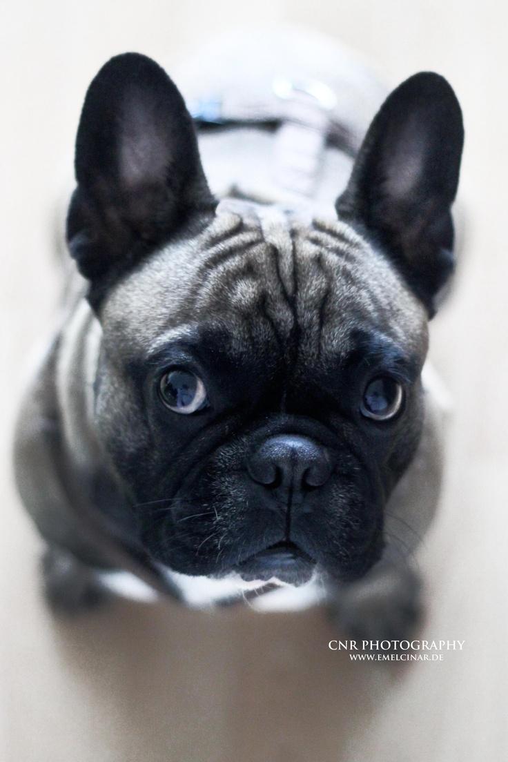 carlos | french bulldog  #dog #french bulldog #bully