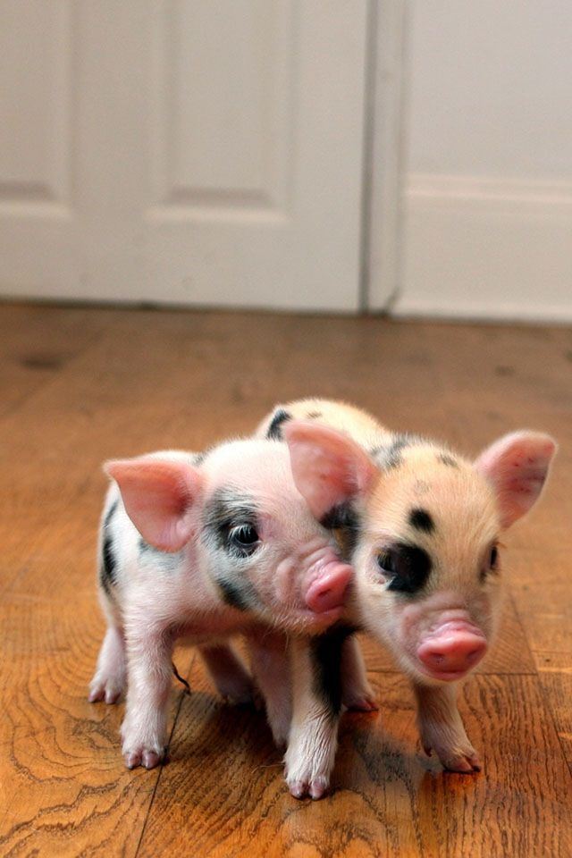 Cute little spotted Piggies