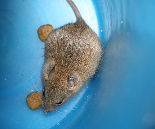 how to get rid of rodents under floor