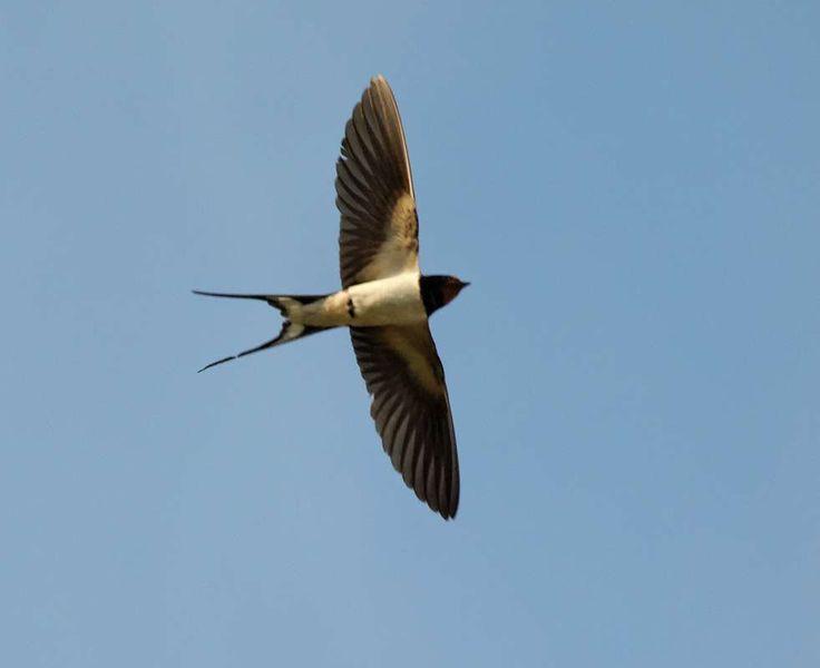 Barn Swallow In Flight 10