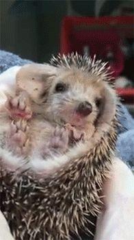 Tired Baby Hedgehog - Video