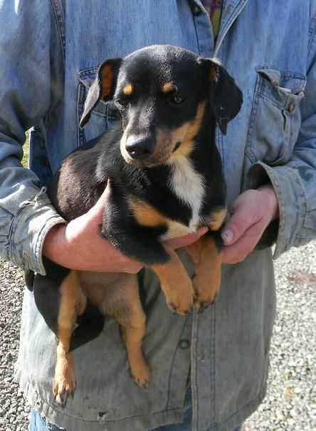 Meet Tessie a Petfinder adoptable Jack Russell Terrier Dog | Evans, WV | Tessie is a sister to Sissy and is being surrendered from the same home.  Tessie is black and tan...