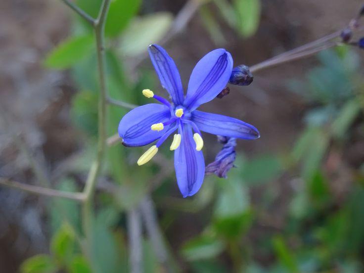 Pasithea coerulea - Azulillo - flora chilena