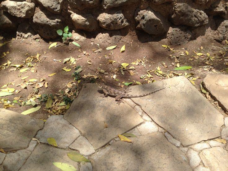 도마뱀이 귀엽더군요. 롯지에 식사하러 들어왔는데 이곳은 도마뱀과 원숭이 천지였어여