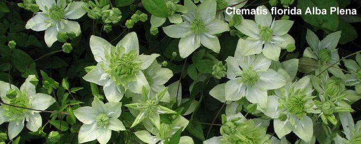Clematiskulturen F.M. Westphal | Ihre Adresse für Clematis