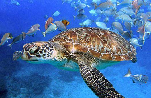 Bajo el agua en República Dominicana. Tortuga de Carey, especie en extinción.