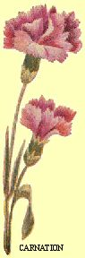 Carnation, color plate showing proper colors and shading.