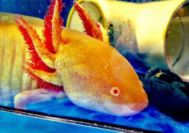 Albino #axolotl | The World is Alive | Pinterest