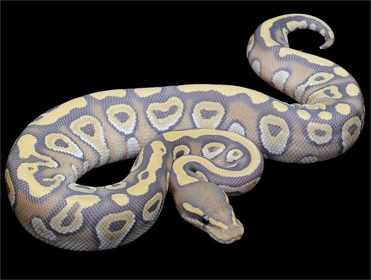 orange ghost mojave ball python.