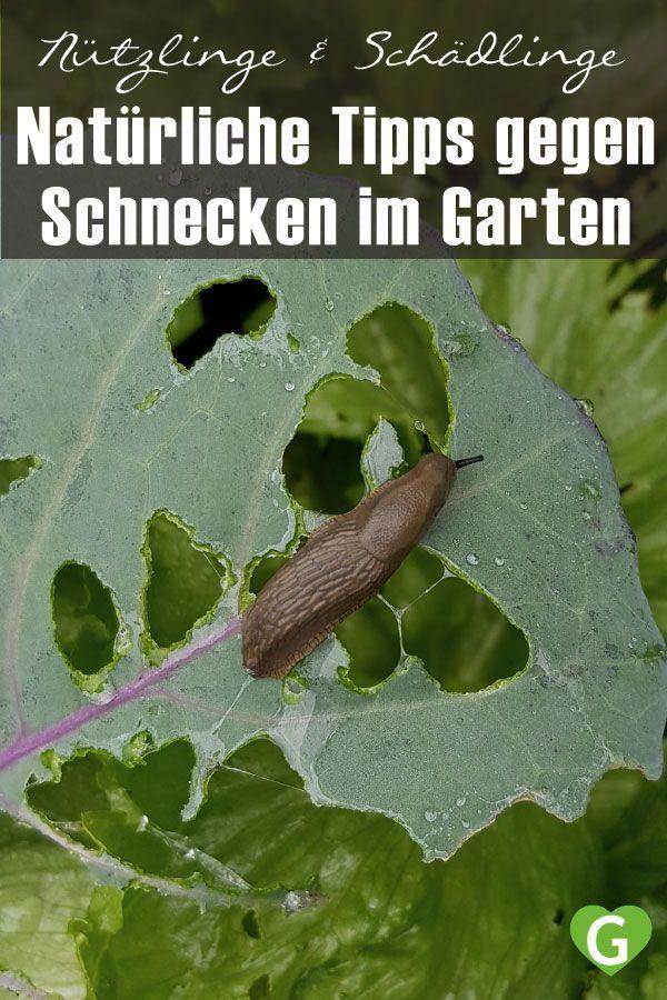 Tipps Gegen Schnecken Im Garten Gruneliebe In 2020 Schnecken Im Garten Garten Pflanzenblatter