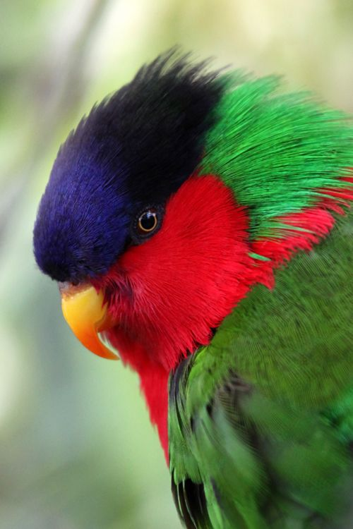 The Collared Lory (Phigys solitarius) is a monotypic species of parrot in the…