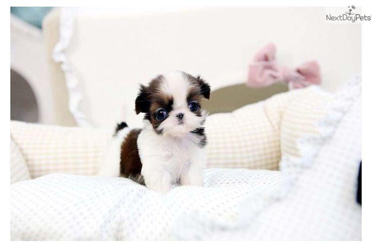Meet Mia a cute Shih Tzu puppy for sale for $3,800. Tiny Teacup Shihtzu