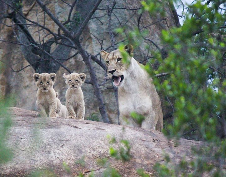 The newest editions to the game reserve were spotted again last week!  #southafrica #lions #gvi