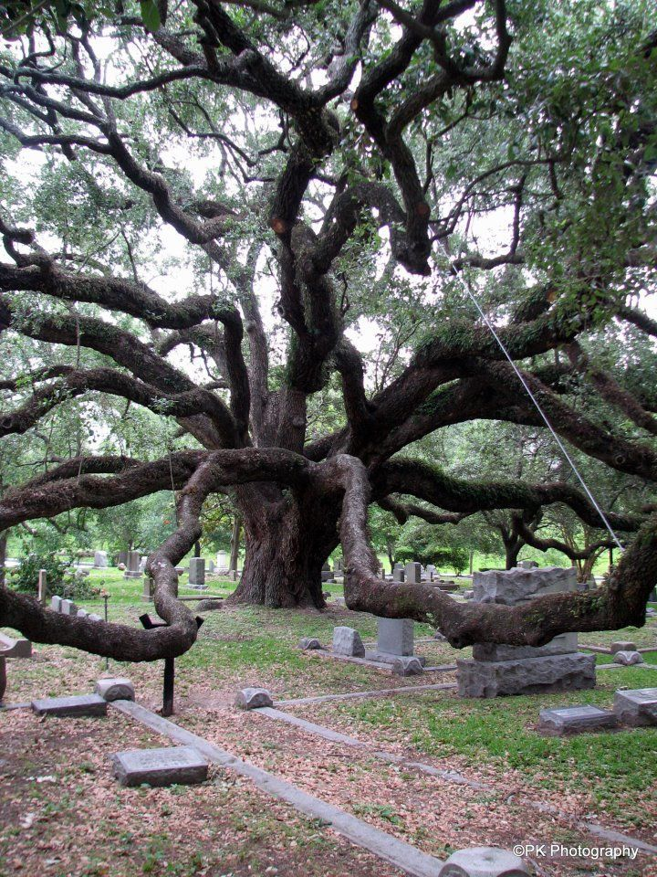 This Tree is amazing ... it's lived through so many stories. We've enjoyed it for sooo long. (Texas State Cemetery): Old Trees, Beautiful Trees, Texas Cemetery, Amazing Trees, Texas State, Texas Cemetary, State Cemetery, Oak Tree