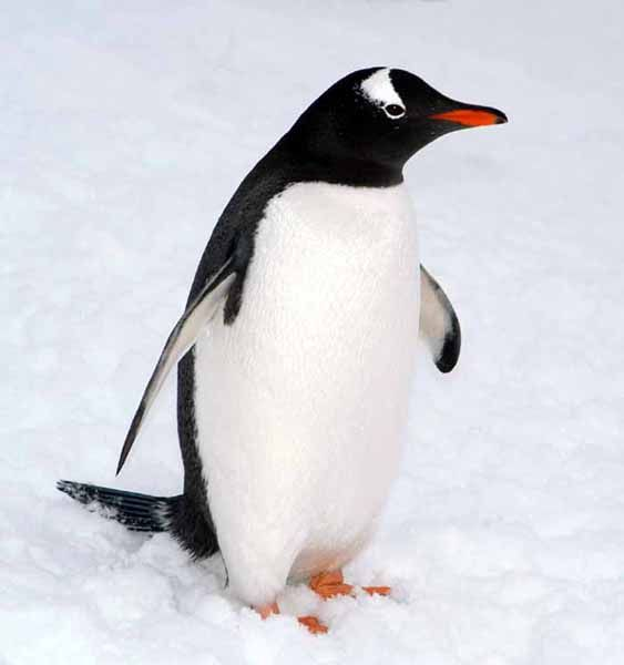 images of penguins | animal wildlife penguin the penguin is found pretty much…