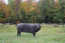 Large Black Pigs of Maine: TOP 10 MISTAKES (TO DATE) - this is great information especially for those just embarking on the wonderful adventure! Thank you to the Rouillards for sharing this.
