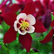Aquilegia Crimson Star - bright red and creamy white flowers that stand gracefully on tall stems above green ferny foliage