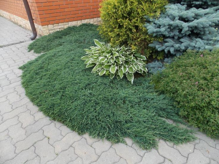 juniperus horizontalis wiltonii штамб: 7 тыс изображений найдено в Яндекс.Картинках