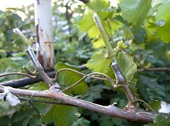 Обрезка винограда — это очень давнее занятие. Предание гласит, что еще во времена Римской империи ему положено начало, так как было замечено, что после него культура развивается очень хорошо. Правильн...