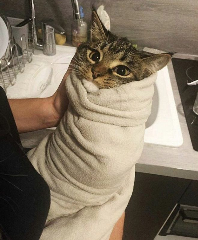 Purritos Cat Burritos Tabby Cat Cats Cute Cat