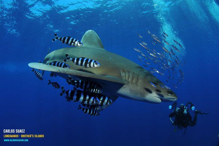 Longimanus Shark - Brother's Islands - Carlos Suarez