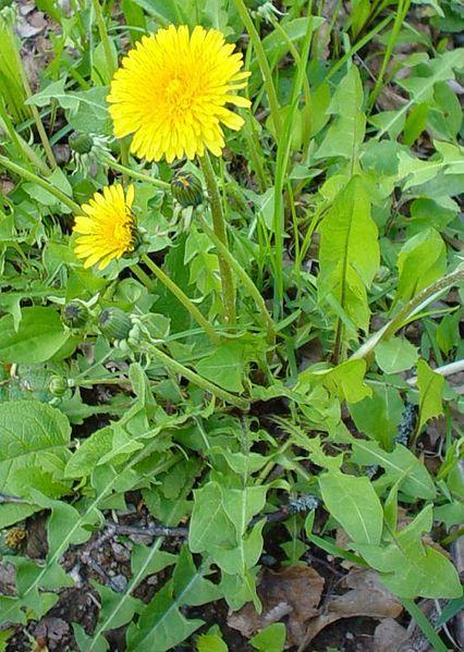 Le Pissenlit, Taraxacum dens-leonis, l'allié du foie.Principes actifs connus: inuline (prébiotique favorisant un bon confort gastrointestinal), fructose ( accroit la sécrétion de bile et la contractilité de la vésicule), potassium (effet diurétique).http://www.saniplante.fr/lang/66-gelules-de-plante-pissenlit-racineflacon-de-200-gelules-de-poudre-270-mg.html.Bénéficiez d'une remise de 20 % sur votre première commande en tapant le bon de réduction COMM1