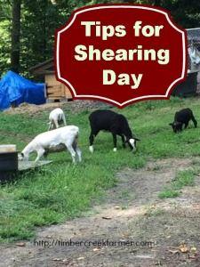 Shearing Sheep – Tips for Shearing Day on Timber Creek Farm at http://timbercreekfarmer.com/animal-care/shearing-sheep-tips-shearing-day/