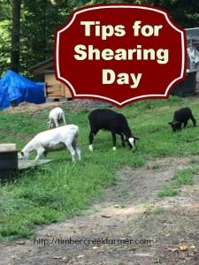Shearing Sheep – Tips for Shearing Day on Timber Creek Farm at http://timbercreekfarmer.com/animal-care/shearing-sheep-tips-shearing-day/