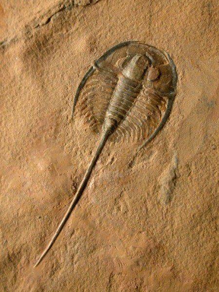 Ptychopariida Gerospina schachti Trilobite from Weeks Formation