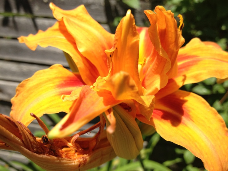 I took this picture of a rich Yellow/Orange flower that i found on Toronto Island. - Source: Bendrix (upload)