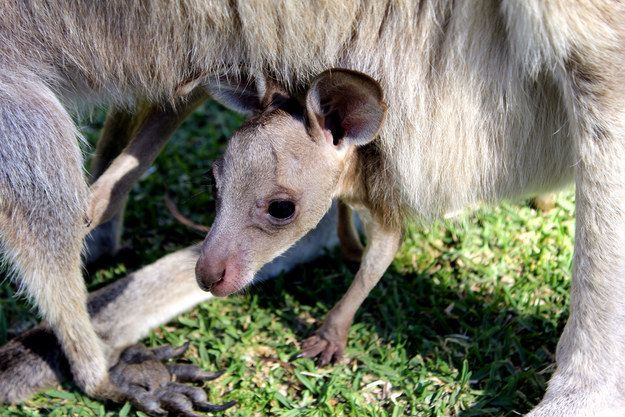 Kangaroos   A Definitive Ranking Of The Cutest Baby Animals