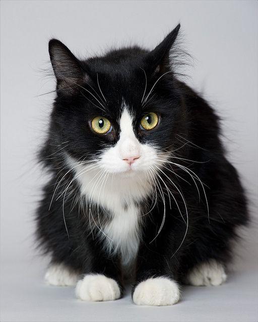 my dream cat http://media-cache7.pinterest.com/upload/56224695318018948_CxZklqVN_f.jpg agataz animal friends