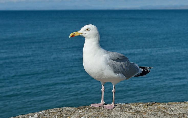 European Herring Gull   Oceana