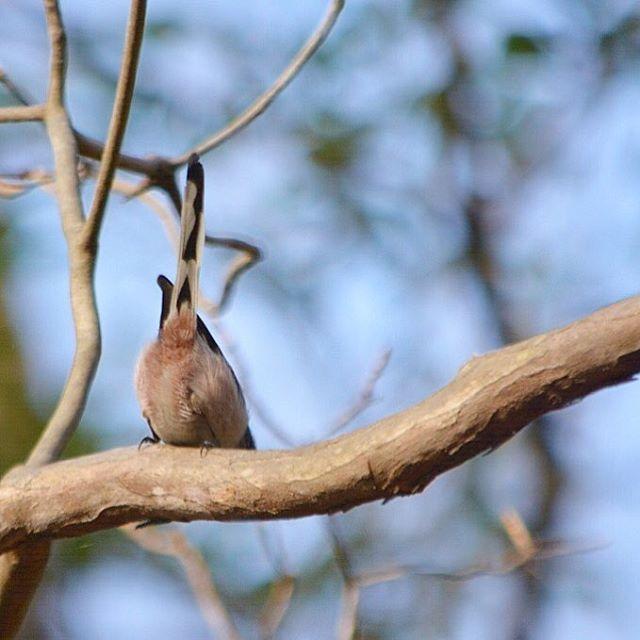 【nr.113】さんのInstagramをピンしています。 《#エナガ んでさっきのアオゲラ撮ってたらいつの間にかエナガ軍団に囲まれてました(´・∀・`)♡淡いピンクのもふもふお尻撮れて嬉しい(´・∀・`)♡ #野鳥 #自然 #鳥見 #鳥 #里山 #森 #birder #bird #nature #naturephotography #naturelovers #birder #wildbird #Nikon #D7100》
