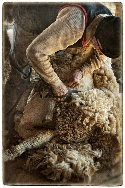 Shearing the sheep - I used to watch the farmers do this as a child and loved how happy the sheep seemed to be after they had been sheared -a weight off their shoulders so to speak.