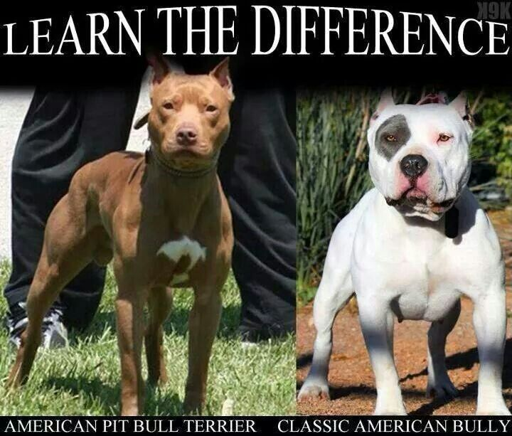 "I think the majority of ""Pit Bull"" parents know the difference.  Well, I do anyway."