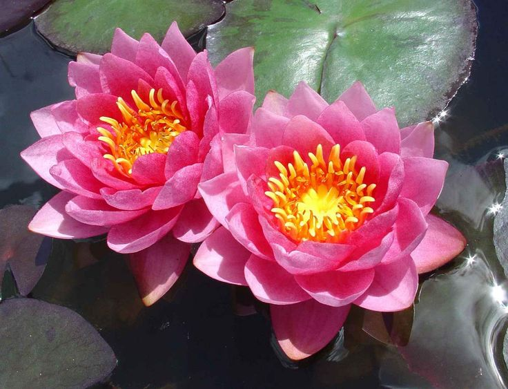 Nymphaea, Nenúfar o Lirio de Agua - http://jardineriaplantasyflores.com/nymphaea-nenufar-o-lirio-de-agua/