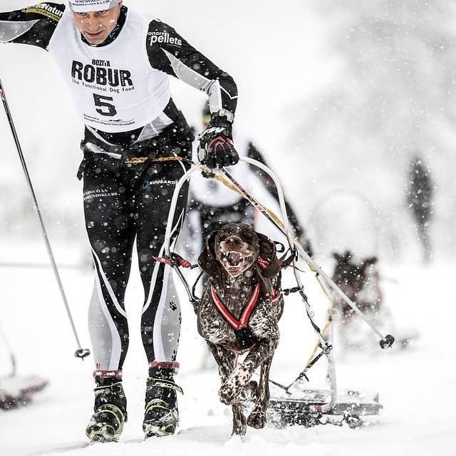 Mikael Henriksson is one of the most active and merited sled dog racer in Sweden.  Mikael gives his dogs Nutrolin Sport to help the dogs to recover faster after strenuous training and to protect the dogs' muscles and other soft tissues. Mikael's dogs also get Nutrolin Skin & coat to keep the paws strong.