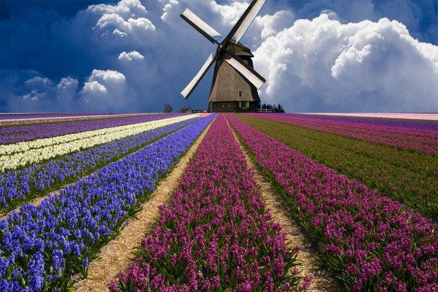 Holland windmill and flower field.