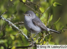 blue-gray gnatcatcher.  i've been hearing these guys a lot over the past week.  one of my new faves.