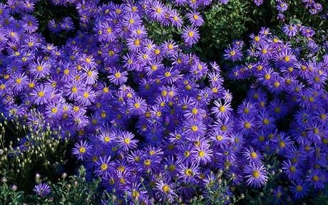 Asters   Fall Blooms  Cutting Garden