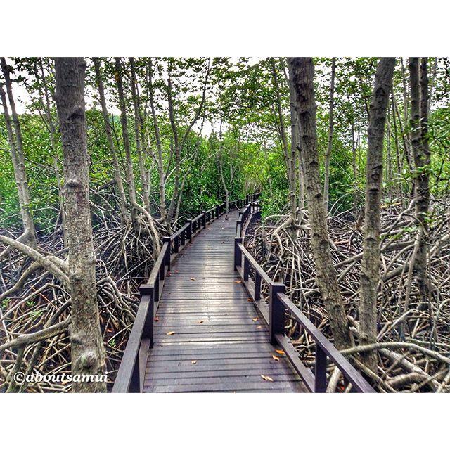 Гуляя по мангровым лесам, будто попадаешь в сказку - тропинка-мостик, а по бокам гигантские корни деревьев, растущих прямо из воды а самое приятное, что еще и бесплатно!  #хуахин #таиланд #thailand #huahin #aboutsamui #mangrove #мангры
