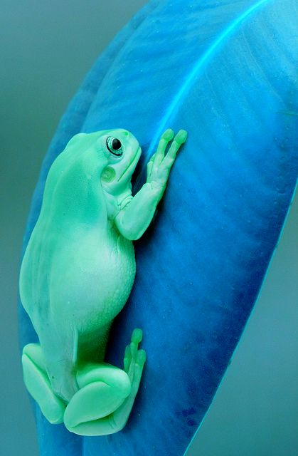 Blue leaf with a Frog