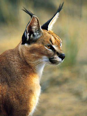 Long Pointy Eared Cat